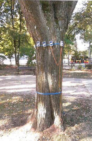 Jedno z drzew przeznaczonych do wycinki  Zarząd Zieleni