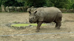 """Stosunek nosorożców to gonitwa. """"Kuba potykał się o przyrodzenie"""""""