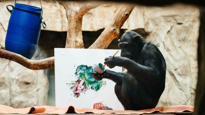 Szympansica Lucy pokazuje, co jej w duszy gra. Wystawa niezwykłej malarki