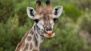 Żyrafy wymierają po cichu. Drastyczny spadek populacji
