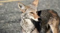 """""""Kojot uczy się zasad ruchu"""". Dzikie zwierzęta coraz chętniej przenoszą się do dużych miast"""