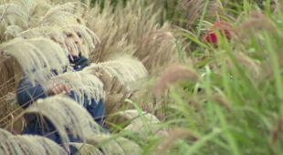 W łanach szumiących traw (odc. 521)